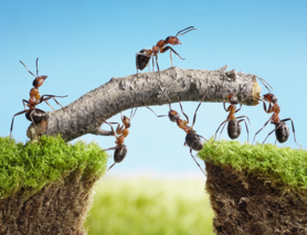 Ameisen Teamwork